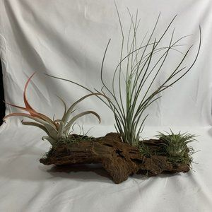 Live air plants mounted on Malaysian driftwood